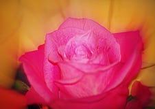 软的焦点桃红色玫瑰 免版税库存图片