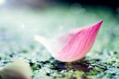 软的焦点桃红色莲花\ 's叶子在池塘 库存照片