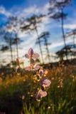 软的焦点甜紫色花和杉树森林有日落的在Phu Soi Dao国家公园,泰国点燃 库存图片