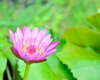软的焦点美丽的桃红色莲花 免版税库存照片