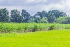 软的焦点自然领域、绿色水稻领域、甘蔗植物领域、美丽的天空和云彩在泰国 免版税库存照片