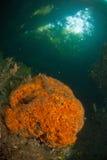 软的珊瑚和礁石场面,王侯Ampat,印度尼西亚 库存照片
