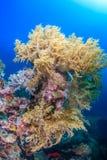 软的珊瑚, Pescador海岛, Moalboal 免版税库存照片