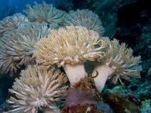 软的珊瑚Heteroxenia fuscescens 免版税库存照片