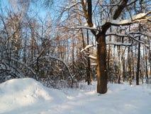 软的蓝天和树在欢乐雪穿戴在早晨阳光下 图库摄影