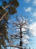 软的蓝天和高多枝树在欢乐雪穿戴在早晨阳光下 免版税库存照片