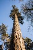 软的蓝天和高大的树木在早晨阳光下 免版税图库摄影