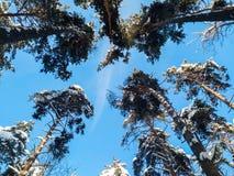 软的蓝天和高杉树在早晨阳光下 库存图片