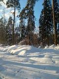 软的蓝天和高杉树在欢乐雪穿戴在早晨阳光下 免版税库存照片
