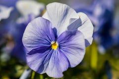 软的蓝色蝴蝶花 库存图片