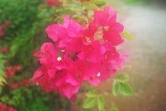 软的迷离红色纸花或九重葛花在庭院里 库存图片