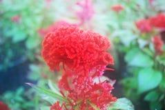 软的迷离红色cockscomb花在庭院里有绿色背景 库存图片