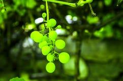 软的迷离绿色葡萄和叶子在葡萄树背景 免版税库存照片