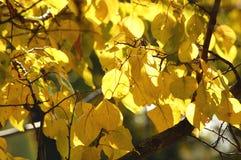 软的阳光由后照的杏树豪华的黄色叶子 温暖的天气,晴天,好秋天心情 免版税库存照片
