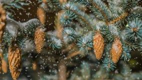软的降雪在冬天多雪的森林里,平衡冬天风景,在雪的云杉的分支,录影圈 股票录像