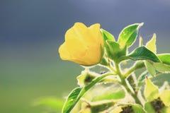 软的黄色花在早晨 库存照片