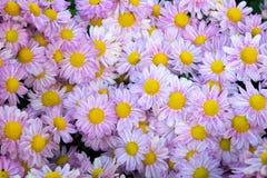 软的紫色菊花开花自然摘要背景 免版税图库摄影