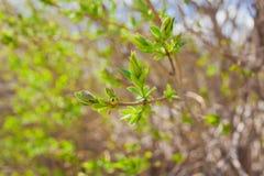 软的de集中树枝春天纹理与第一片新的叶子的于它 库存图片