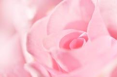 软粉红色的玫瑰 接近的瓣变粉红色玫瑰色 免版税库存照片