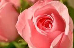 软粉红色的玫瑰 接近的瓣变粉红色玫瑰色 库存照片