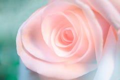 软粉红色的玫瑰 库存图片