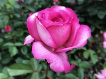 软粉红色的玫瑰 免版税库存图片