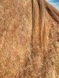 软羊皮的外套、阉割公短距离冲刺的马鬃毛和的肩膀  免版税库存照片