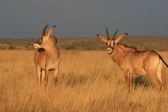 软羊皮的羚羊在北开普省 图库摄影