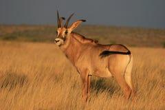 软羊皮的羚羊在北开普省 免版税图库摄影