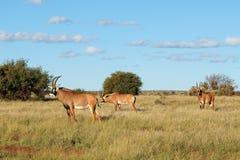 软羊皮的羚羊在自然生态环境 免版税库存照片