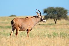 软羊皮的羚羊在草原 免版税库存照片