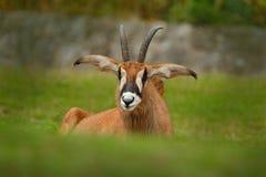 软羊皮的羚羊,弯角羚属equinus,大草原羚羊在西部,中央发现了,东部和南部非洲 羚羊细节画象, 图库摄影