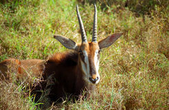 软羊皮的羚羊, Mkhaya比赛储备,斯威士兰 免版税库存图片