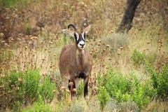 软羊皮的羚羊 免版税库存图片