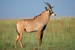 软羊皮的羚羊 免版税图库摄影
