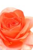 软背景的玫瑰 免版税图库摄影