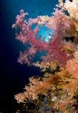 软色的珊瑚埃及红色礁石的海运 库存照片