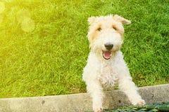 软绵绵地上漆的小麦狗狗品种 免版税图库摄影