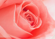 软绵绵地打开桃红色玫瑰背景 图库摄影