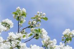 软绵绵地桃红色和在清楚的天空背景的雪白色苹果树开花的分支 免版税库存图片