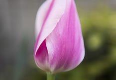 软绵绵地桃红色和白色郁金香开花在斯平 库存图片