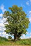 轰烈的树以绿色 免版税库存图片