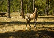 轰烈的马在森林里 免版税图库摄影