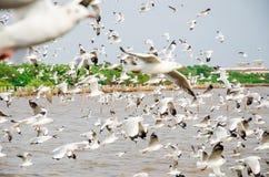 轰隆Poo,泰国:海鸥飞行群。 免版税库存图片