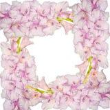 轻拍从桃红色剑兰花的花卉框架与小滴  免版税图库摄影