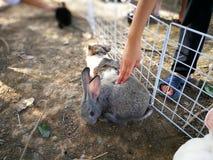 轻拍在笼子的手一只蓬松毛茸的兔子 图库摄影
