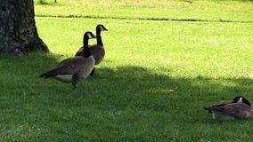 轻易地胜过在草的两只加拿大鹅照相机 股票录像
