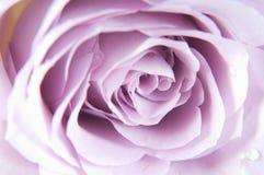 轻淡优美的色彩玫瑰 免版税库存照片