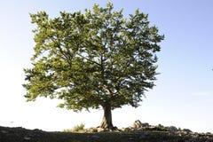 轻的好的星期日结构树 库存照片