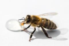 轻的表面上的喝蜂蜜下落fr的一只蜂的宏观图象 免版税库存图片
